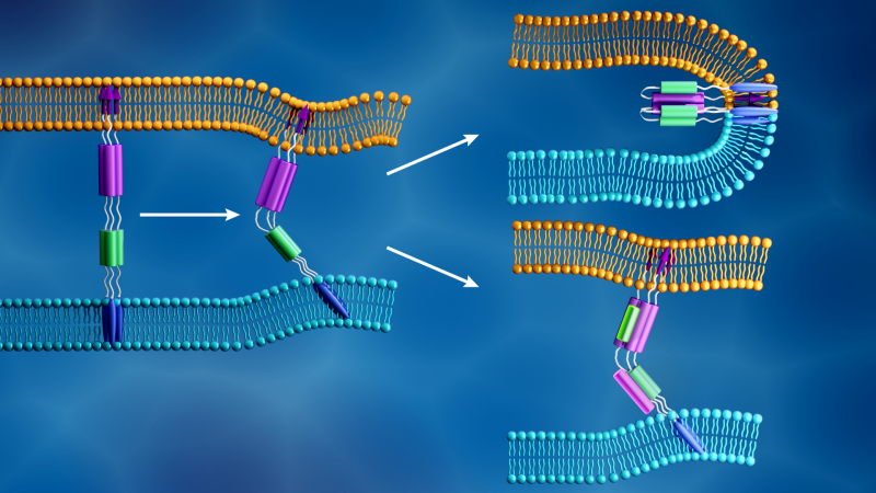 The novel coronavirus membrane (light blue) and the human cell membrane (orange) merge together when the viral S2 subunit's fusion peptide (purple arrows) inserts into the cell membrane and a different component of the S2 subunit (purple and green) folds to form a tight structure, as shown in the top right. In contrast, as illustrated in the bottom right, fusion inhibitors are designed to prevent viral infection by disrupting this process. (Credit: ORNL/Jill Hemman).