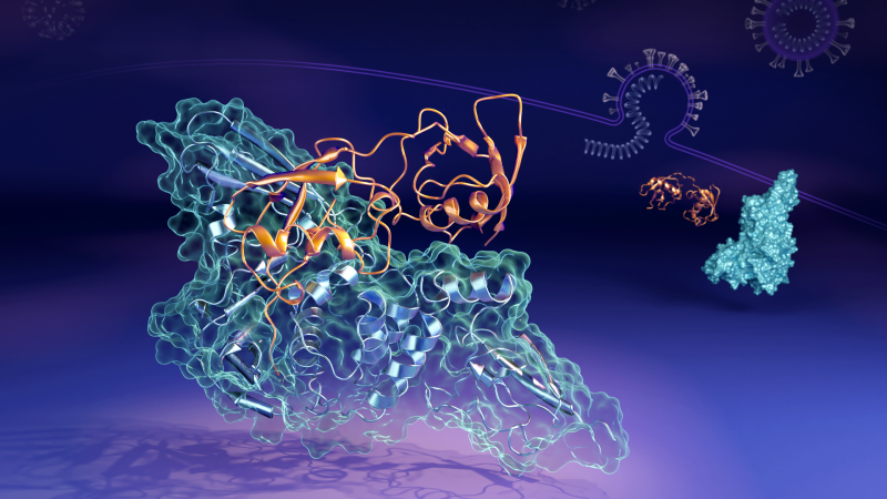 ORNL researchers found the papain-like protease (in orange) can bind to the human interferon-stimula
