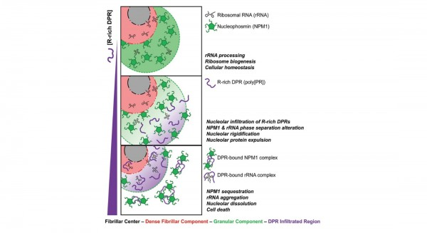 Cell Killing Mechanism of ALS-Associated Dipeptide Repeats